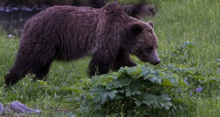 Yellowstone grizzly attack: Why did it happen?