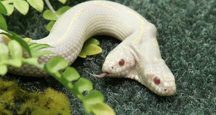 Two-headed snake on display at Ukrainian zoo