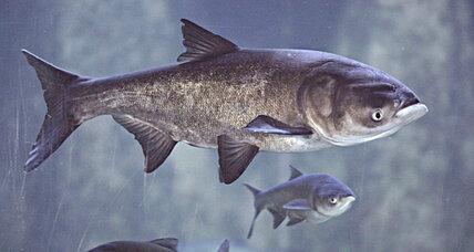 Asian carp: DNA evidence finds something fishy near Lake Michigan