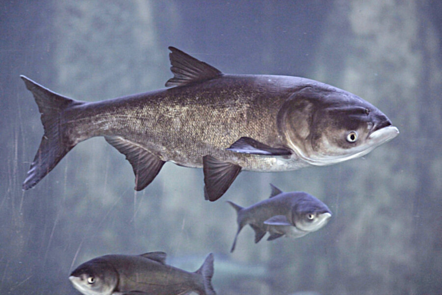 Remarkable Asian carp dna opinion you
