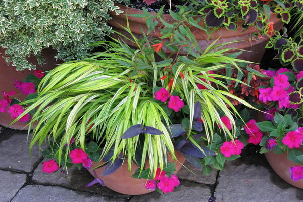 Hakone grass a cascading ornamental grass brightens the for Ornamental grasses for small gardens