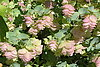 Ornamental oregano is a delightful perennial plant