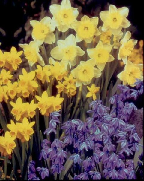 Which Spring Flowering Bulbs Do Well In Southern California