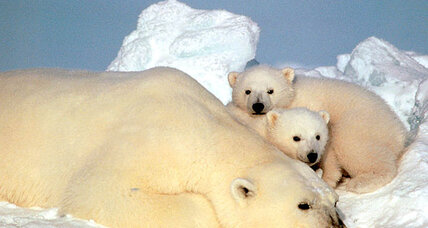 Global warming a threat to polar bears? Judge orders review of US rule.