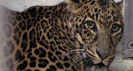 Exotic animals ban: Will ban be revived after Zaneville, Ohio tragedy?