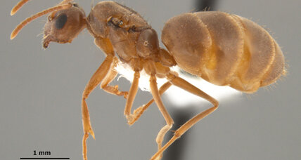 Crazy ants invading US Gulf coast region
