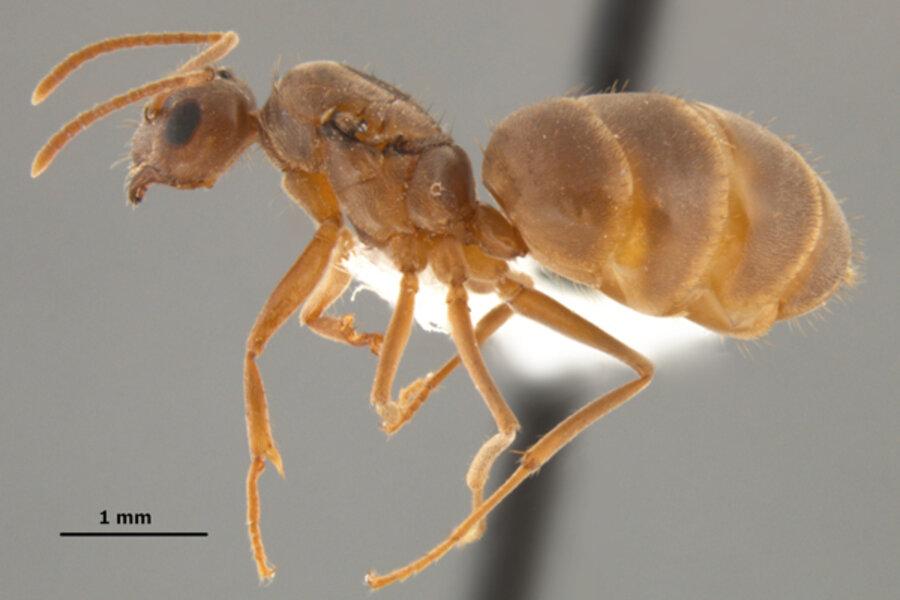 Crazy ants invading US Gulf coast region   CSMonitor.com
