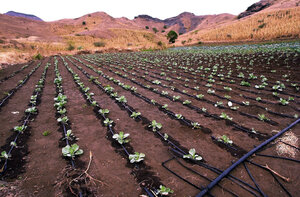 cabbage plants grow in a field where a system is installed near san domingo cape verde drip irrigation makes maximum use of available