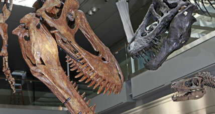 Tyrannosaurus rex dinosaur reportedly bigger than first thought