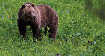 Yellowstone grizzly bears: New cause célèbre for effects of global warming?