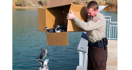 Grebes birds: Thousands of birds make crash landing in Utah
