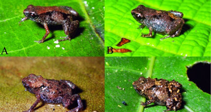 Penny-sized frogs are world's smallest