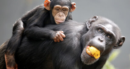 New guidelines show chimps are rarely needed for medical research