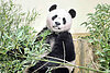 Giant pandas, on loan from China, now living in Scotland
