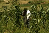 Is Indian investment in Ethiopian farms a 'land grab?' (VIDEO)