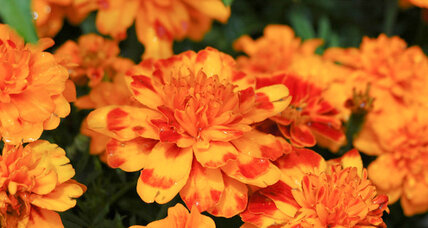 French marigolds: There are no better annuals.