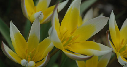The little tulips: Tulipa tarda proves that less is more.