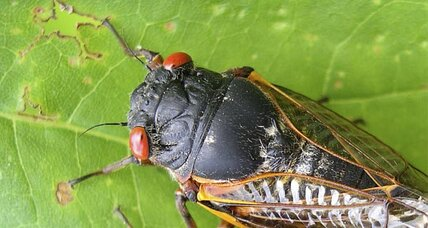 Brood II: After 17 years, billions of eastern US cicadas rise again