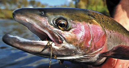 Why California salmon are getting a free ride