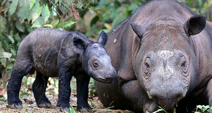 Sumatran rhino extinct in Malaysia: How can the species survive?