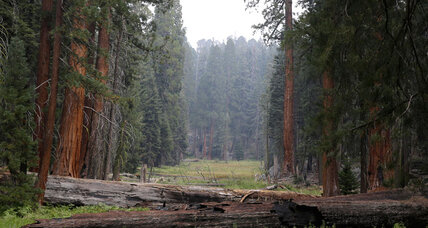 California drought: Why a fire might be good for giant sequoias (+video)