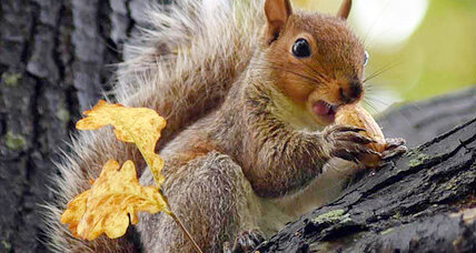 How the fox squirrel got off the endangered species list